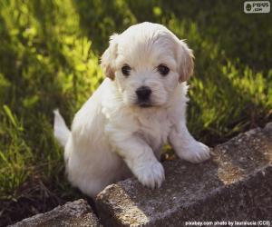 puzzel Shih-poo pup