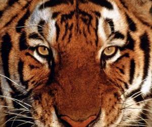 puzzel Tiger hoofd