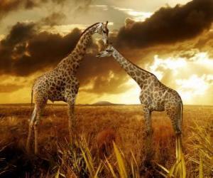 puzzel Twee giraffes in de schemering