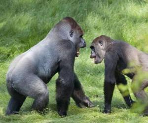 puzzel Twee jonge gorilla's lopen op handen en voeten