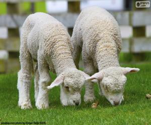 puzzel Twee tedere schapen