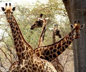 puzzel Vier giraffen