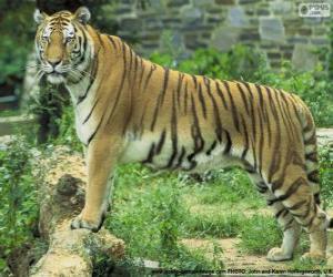 puzzel Volwassen tijger