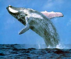 puzzel Whale sprong