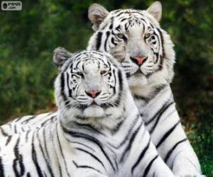 puzzel Witte Bengalen Tigers