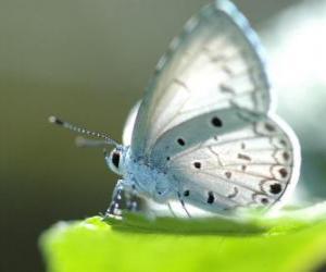 puzzel Witte vlinder