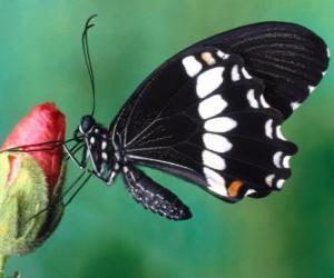 puzzel Zwart vlinder