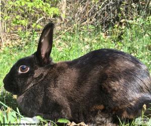 puzzel Zwarte konijn